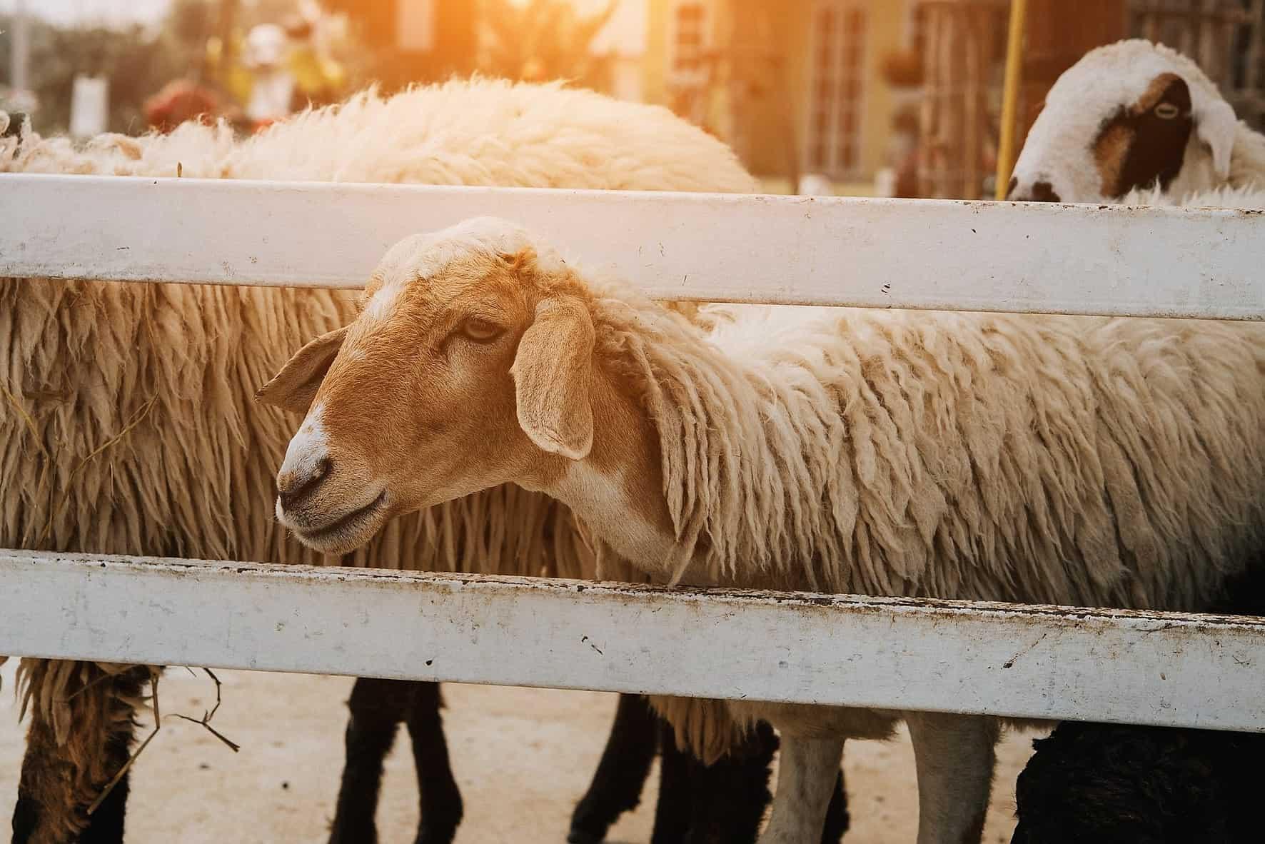owca, wosk zwierzęcy, lanolina, wełna, tłuszczopot owczy Matka Aptekarka